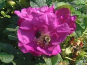 Cape Cod Bee