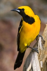 Black and Yellow Hooded Oriole
