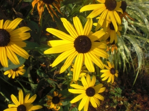 Cape Cod Black Eyed Susans